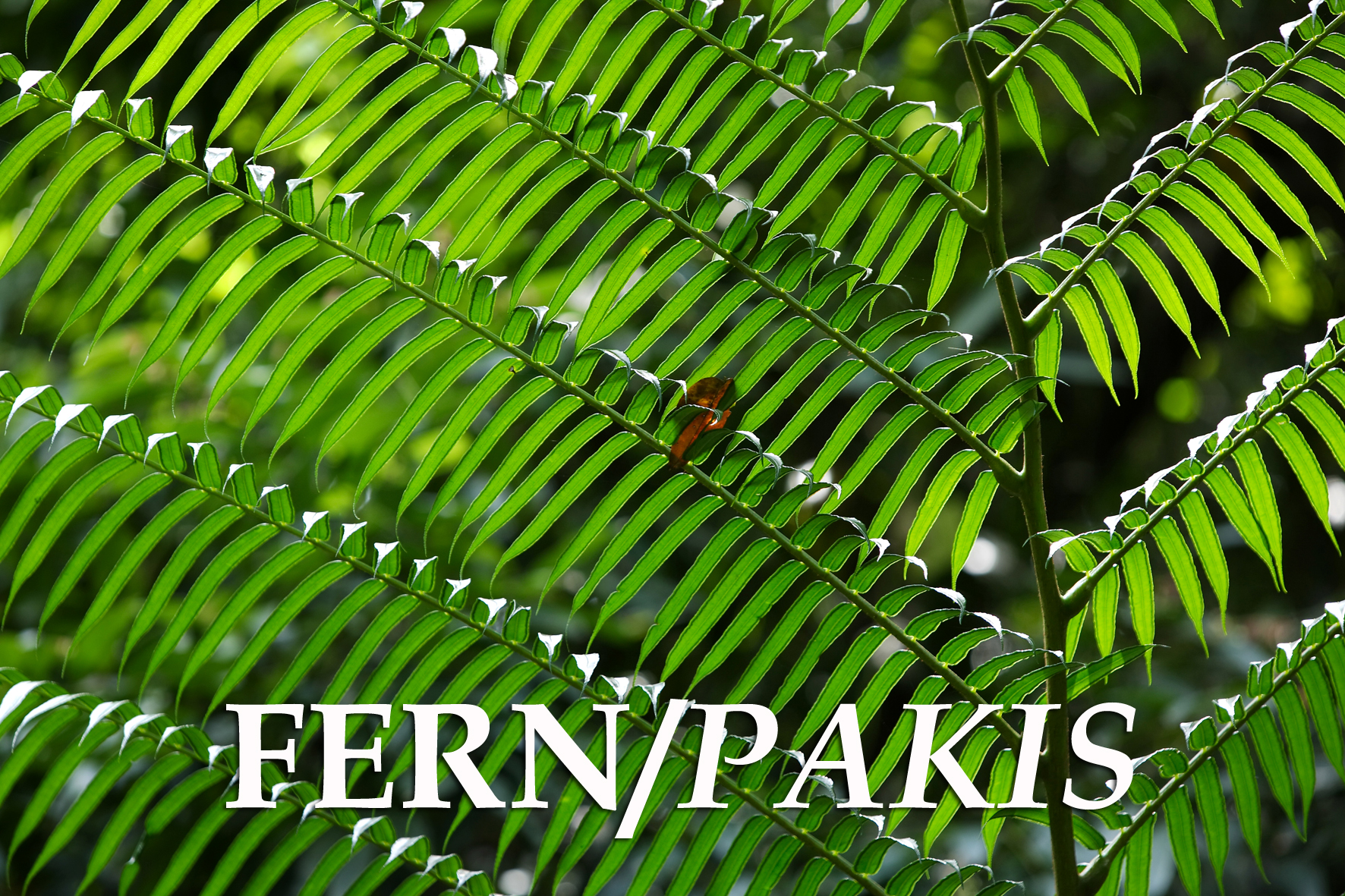 FERN / PAKIS